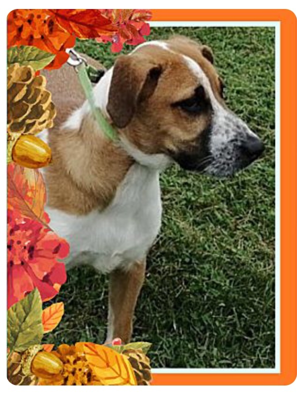 Bo, an adoptable Saint Bernard & Labrador Retriever Mix in Hainesville, IL