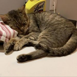 Looking for a sweet affectionate cat Mumford is your guy Hes super snuggly totally a lap baby