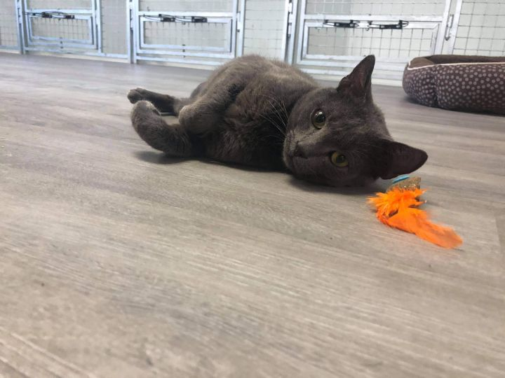 Gargamel, an adoptable Domestic Short Hair Mix in Springfield, MO