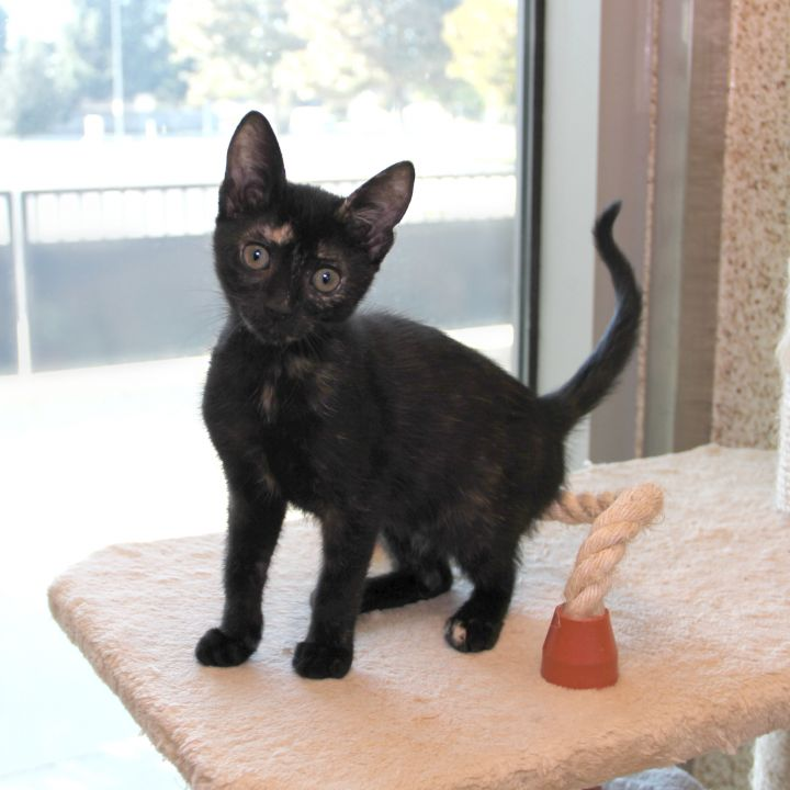 Inverness, an adopted Domestic Short Hair Mix in Clovis, CA