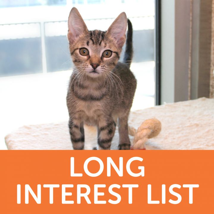 Irvine, an adoptable Domestic Short Hair Mix in Clovis, CA