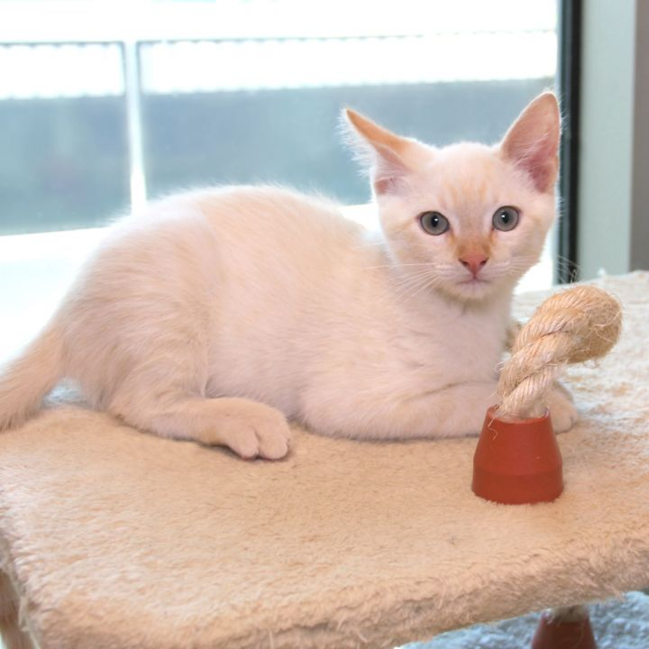 Falkirk, an adopted Domestic Short Hair Mix in Clovis, CA