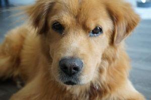 Harvey Golden Retriever Dog