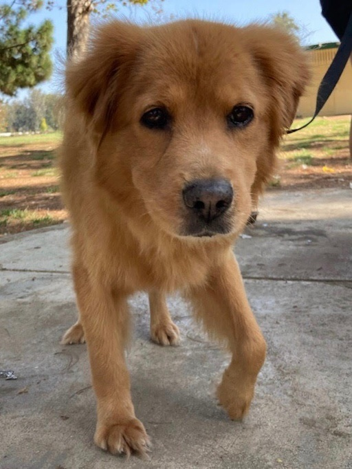 Harvey, an adoptable Golden Retriever Mix in Los Angeles, CA
