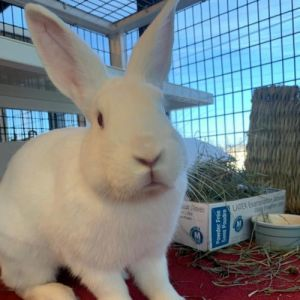 Hi there My name is Snow and Im an adult neutered New Zealand white rabbit I