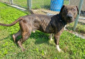 Edric 42400 is one rambunctious boy He is very athletic and will need a home with a fenced in yard