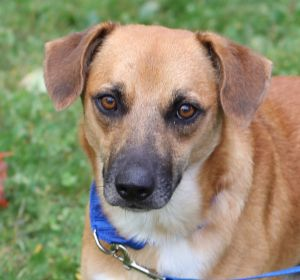 Who can resist those searching beautiful brown eyes Asher is a sweet but shy ShepherdLab Mix who