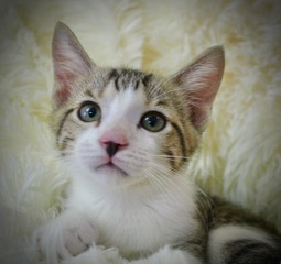 Phoebe Buffay, an adoptable Tabby & Domestic Short Hair Mix in Saint Augustine, FL
