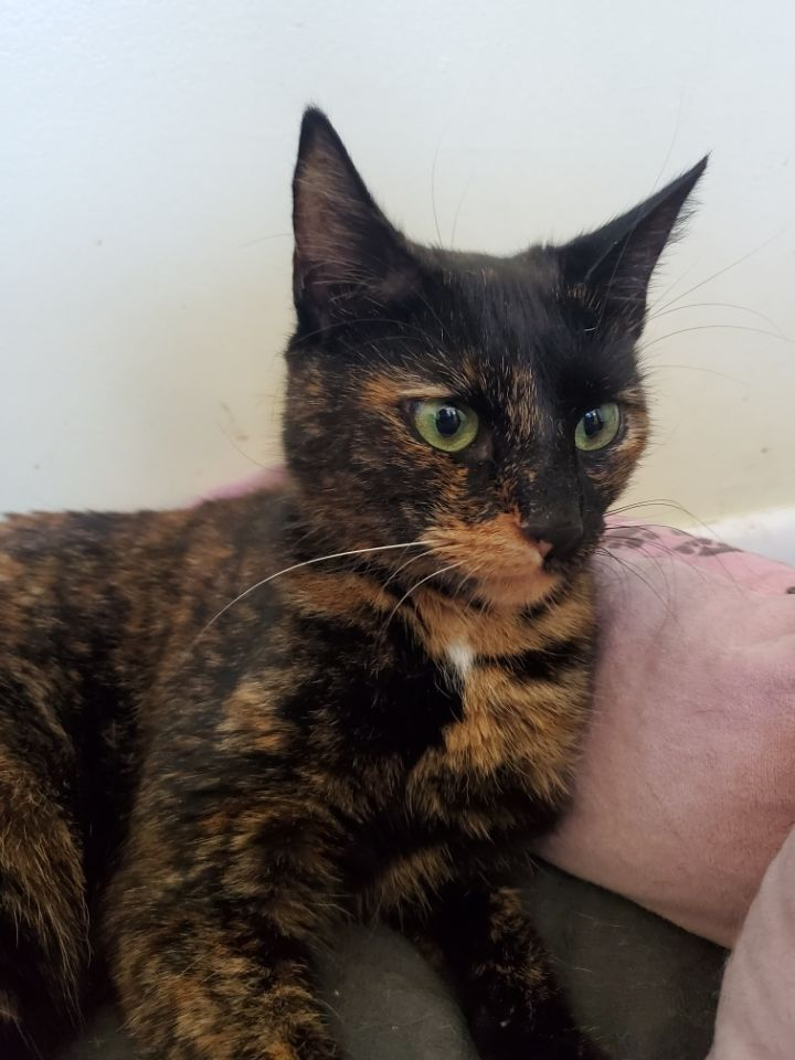 Jitterbug, an adopted Domestic Short Hair in Sewell, NJ