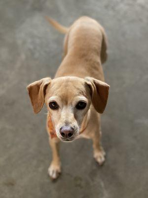 Urbi! The wonder dog! Italian Greyhound Dog