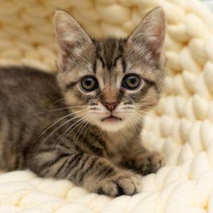 Nori Domestic Short Hair Cat