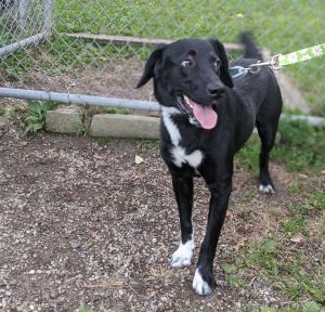 Calling all lab lovers This adorable 1-year-old lab mix is named Bernie He is a very happy frien