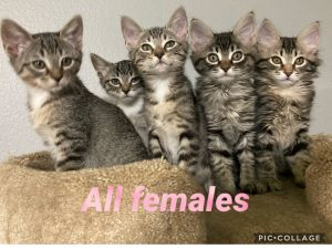 Kittens Looking for their Forever Homes     There is 1 male and 4 female kittens These bab
