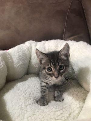Cosmo Tabby Cat