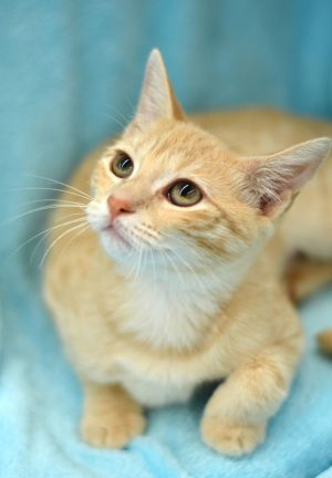Honey is a 4 month old female kitten She is very sweet and affectionate She is