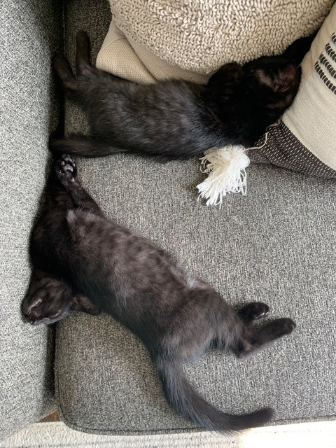 Harley and Darla, an adoptable Domestic Short Hair in Hendersonville, TN