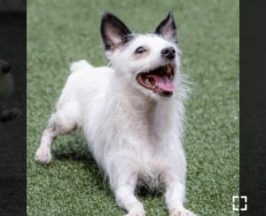 Arrow is a tiny part chihuahua and part Jack Russell and part terrier He is very very funny and g