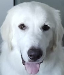 Unlimited possibilities Bebe is a one-year-old Great Pyrenees improving every