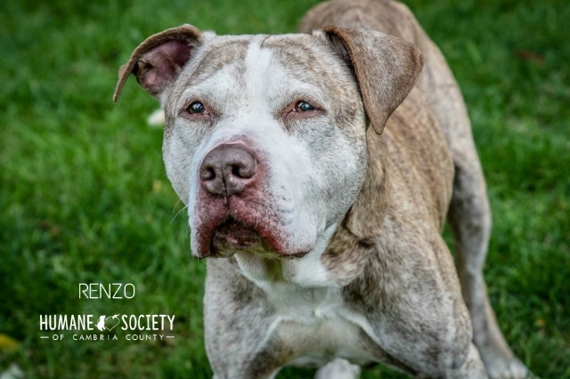 Renzo, an adoptable Pit Bull Terrier in Johnstown, PA