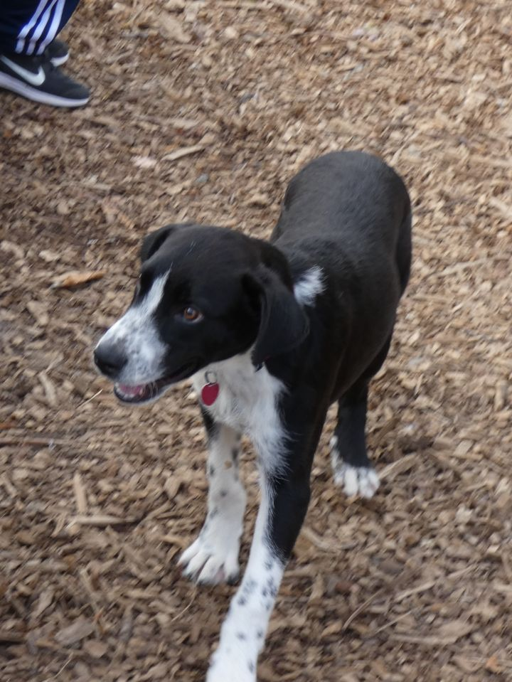 Pepe, an adopted Cattle Dog & Border Collie Mix in Ringwood, NJ