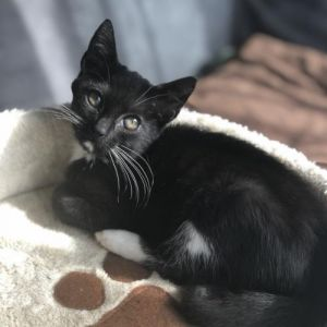 Lala is a spunky playful friendly and curious kitten who loves all her foster kitty friends She l