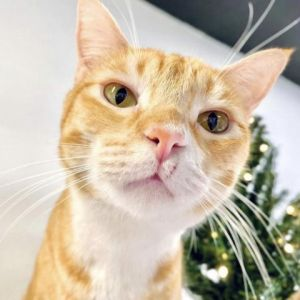 Quesadilla is a sweet and playful kitty He loves to play with his cat friends Quesadilla needs to