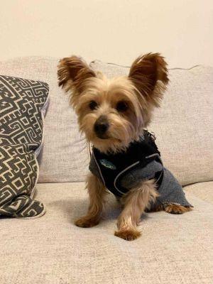 Ivy Yorkshire Terrier Dog