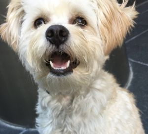 Franz is a 25-year-old 15-pound male terrier mix from the Dallas ACC Franz has been returned to u