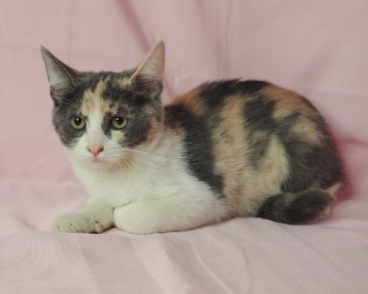 Summer, an adoptable Calico & Domestic Medium Hair Mix in Redlands, CA