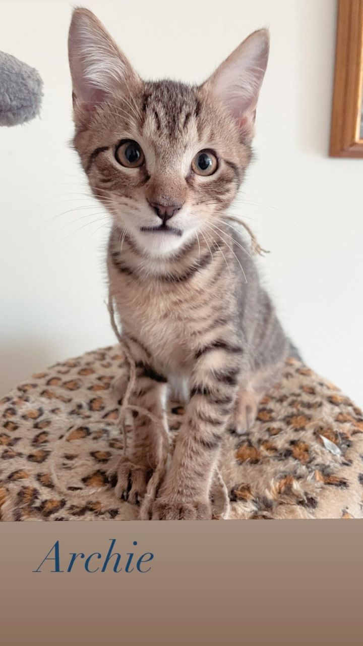 Archie, an adoptable Domestic Short Hair & Tabby Mix in Miami, FL