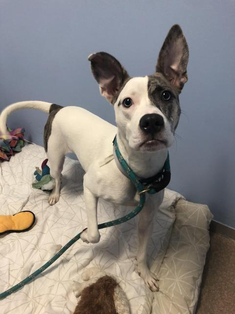 Cider, an adoptable Jack Russell Terrier Mix in Utica, MI