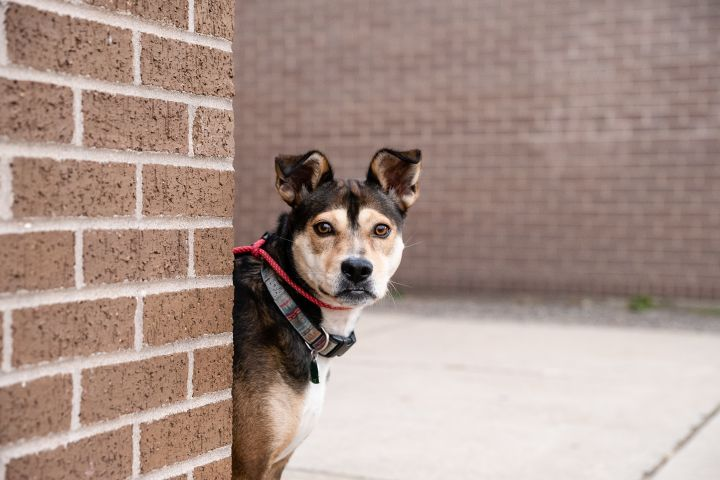 Kay, an adoptable German Shepherd Dog & Terrier Mix in Minneapolis, MN