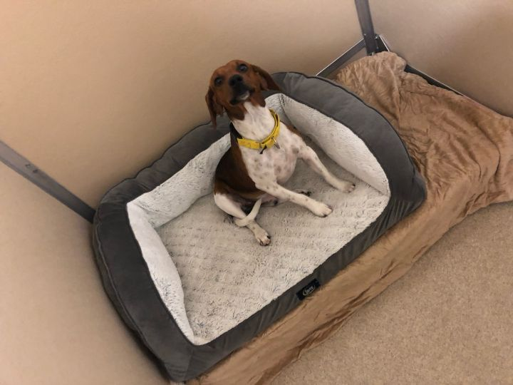Ripper, an adopted Beagle Mix in Naperville, IL