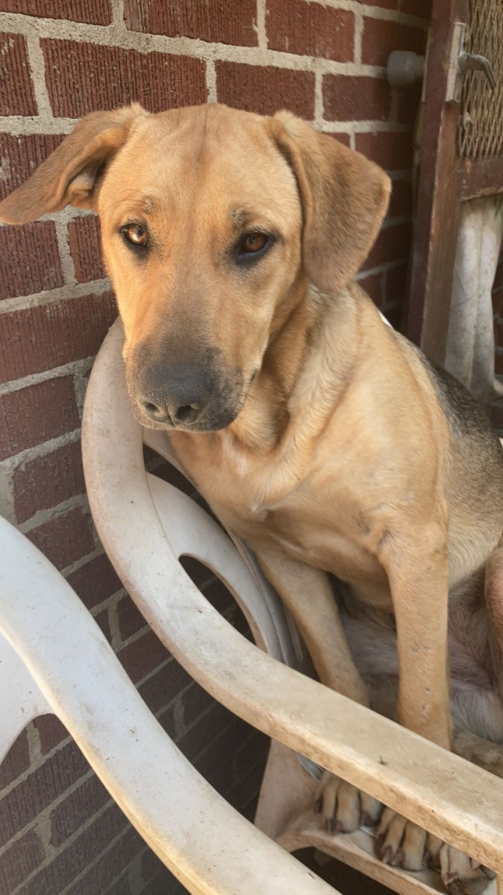 Sandy, an adopted German Shepherd Dog & Labrador Retriever Mix in White Lake, MI
