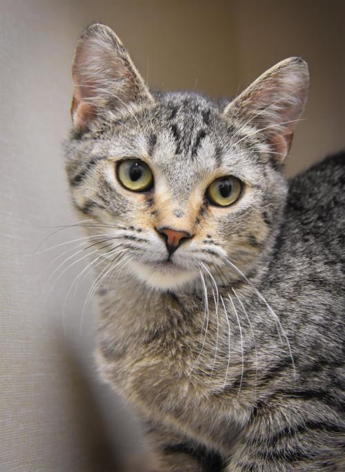 Lizzy, an adoptable Domestic Short Hair Mix in Monticello, IA