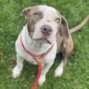 Polly Pit Bull Terrier Dog