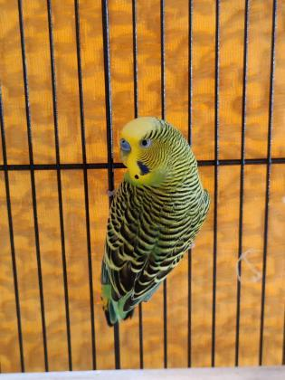 Petey & Pretty, an adoptable Parakeet (Other) in Bellingham, WA