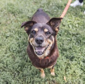 HOLLAND 7 years old 50lbs Husky Mix Spayed Female NEEDS HOME IN SUBURBS Ne