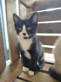 Rex, an adoptable Domestic Short Hair & Tuxedo Mix in Kentwood, MI