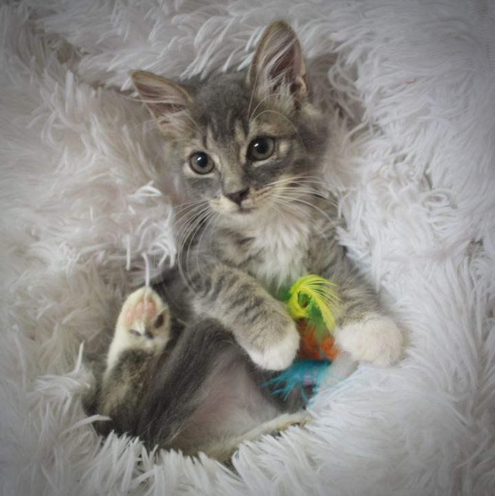 Cuddly Cosette, an adoptable Tabby & Tuxedo Mix in Saint Augustine, FL