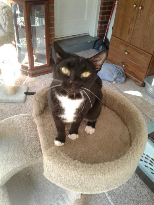 Genevieve, an adoptable Domestic Short Hair in Louisville, KY