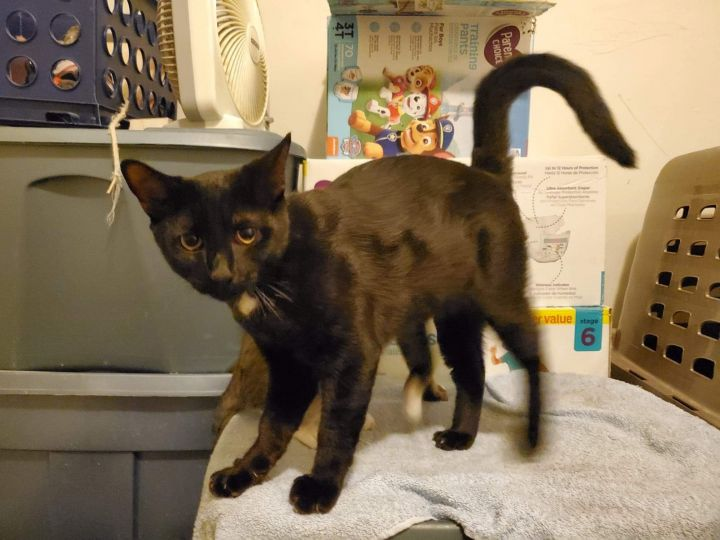 Bojack, an adoptable Domestic Short Hair Mix in Somers, CT