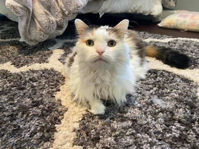 Sundance, an adoptable Domestic Long Hair & Calico Mix in Kentwood, MI