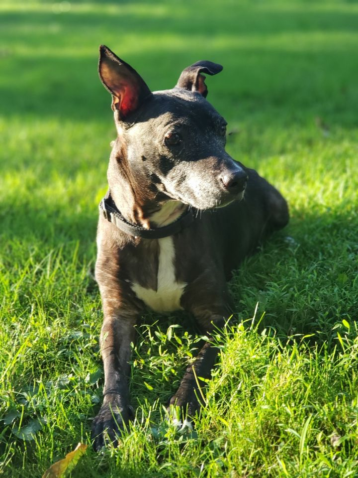 SWEETS!, an adoptable Terrier & Pit Bull Terrier Mix in Philadelphia, PA