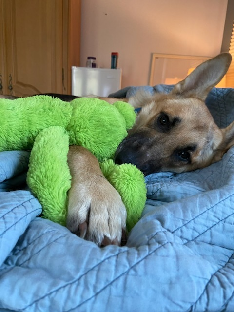 Evie, an adopted German Shepherd Dog in Chicago, IL