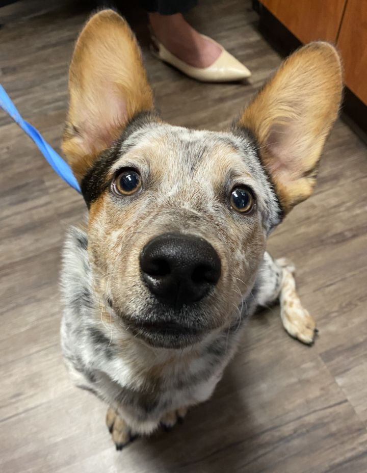 Pax, an adopted Australian Cattle Dog / Blue Heeler & Corgi Mix in Los Alamitos, CA