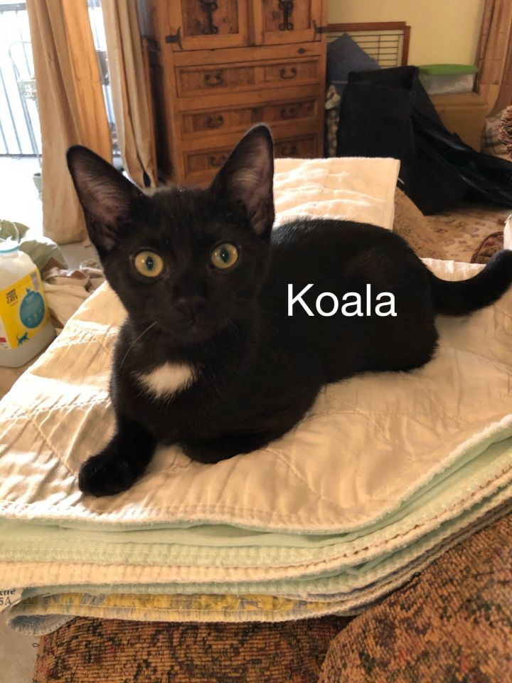 Koala, an adoptable Domestic Short Hair Mix in Miami, FL_image-1