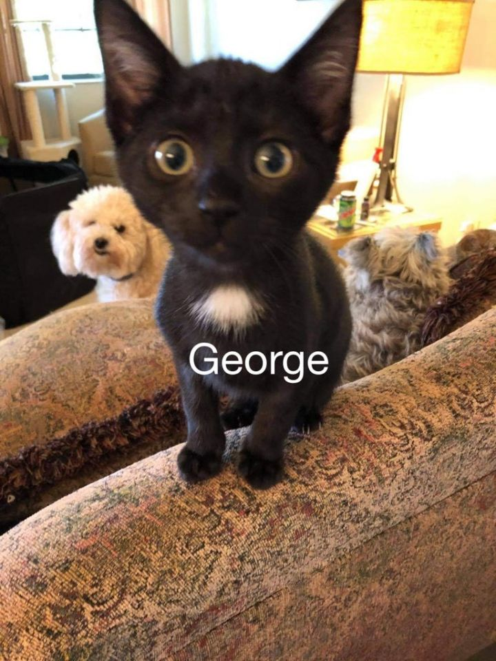 George, an adoptable Domestic Short Hair Mix in Miami, FL_image-1