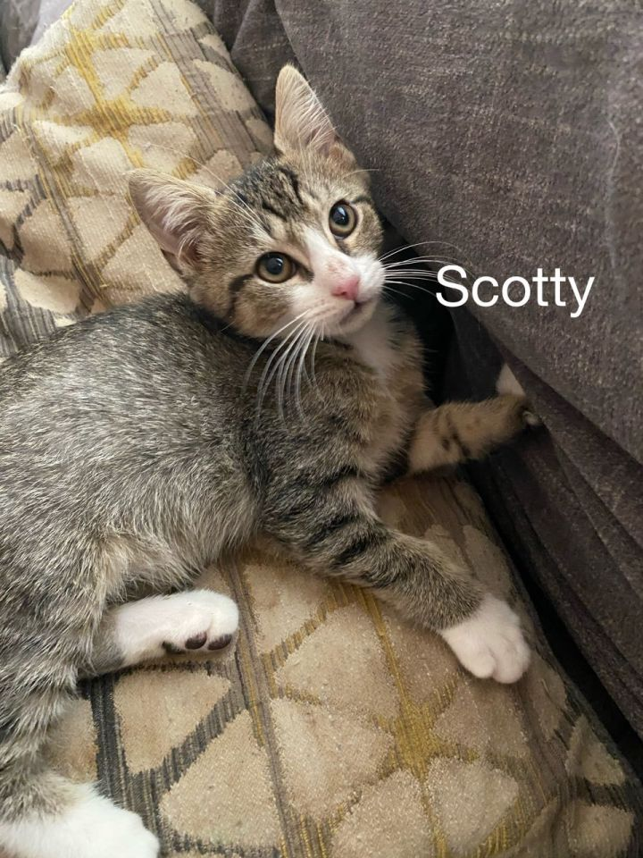 Scotty, an adoptable Domestic Short Hair Mix in Miami, FL