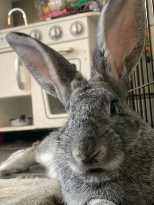 Sterling is a gorgeous young male bunny that was apparently released outside by his owners because t